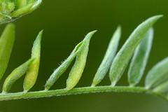 Dasineura spadicea on Vicia cracca