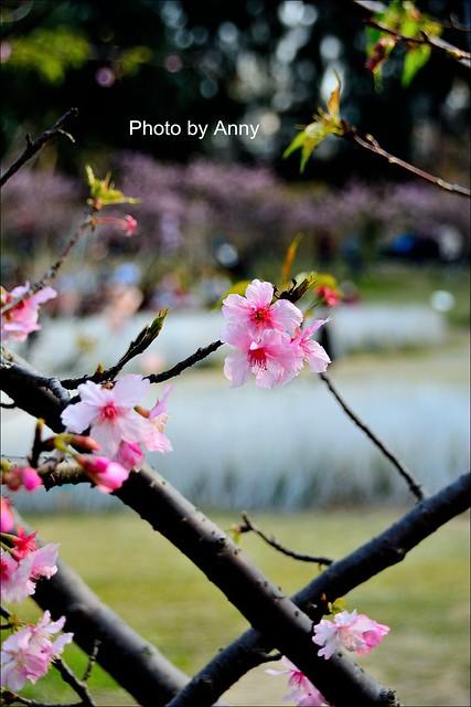 麗池櫻花33