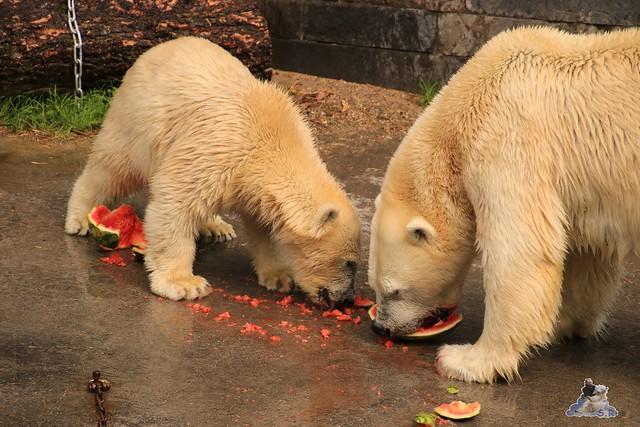 Eisbär Fiete imm Zoo Rostock 15.08.2015 Teil 2  288