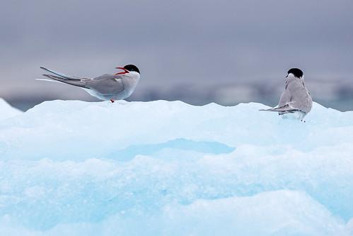 Arctic Tern (Silvertärna)