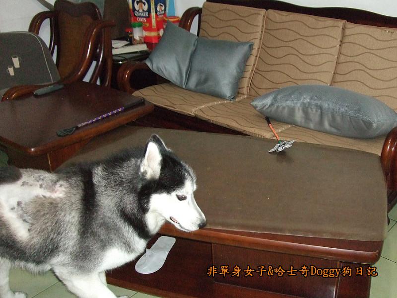 2011哈士奇doggy做壞事02