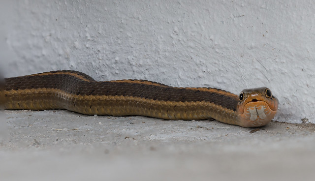 Focus Stacked Garden Snake