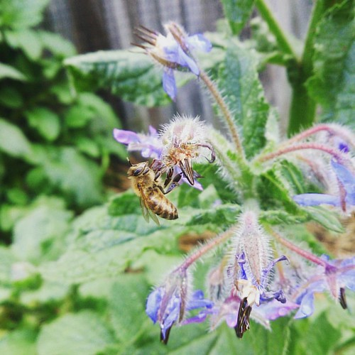 Hello mister bee! I'm so glad you like my borage! Please, come again later this season when I shall have many blossoms wanting pollination... #gardenofsel #garden