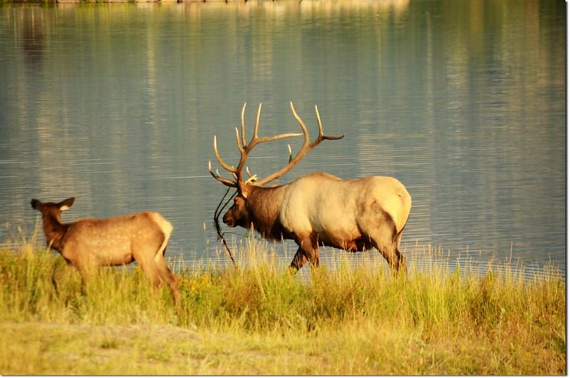 Elk, Lake Estes 5