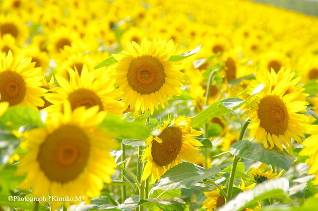初秋・向日葵の丘2