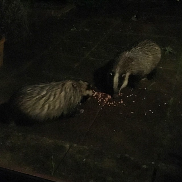 Late night badger visit!
