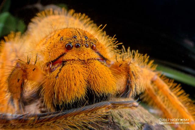 Huntsman spider (Heteropoda davidbowie) - DSC_8113