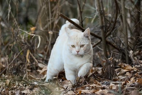 4T4A4681 Cream tabby Japanese cat 薄茶トラ猫