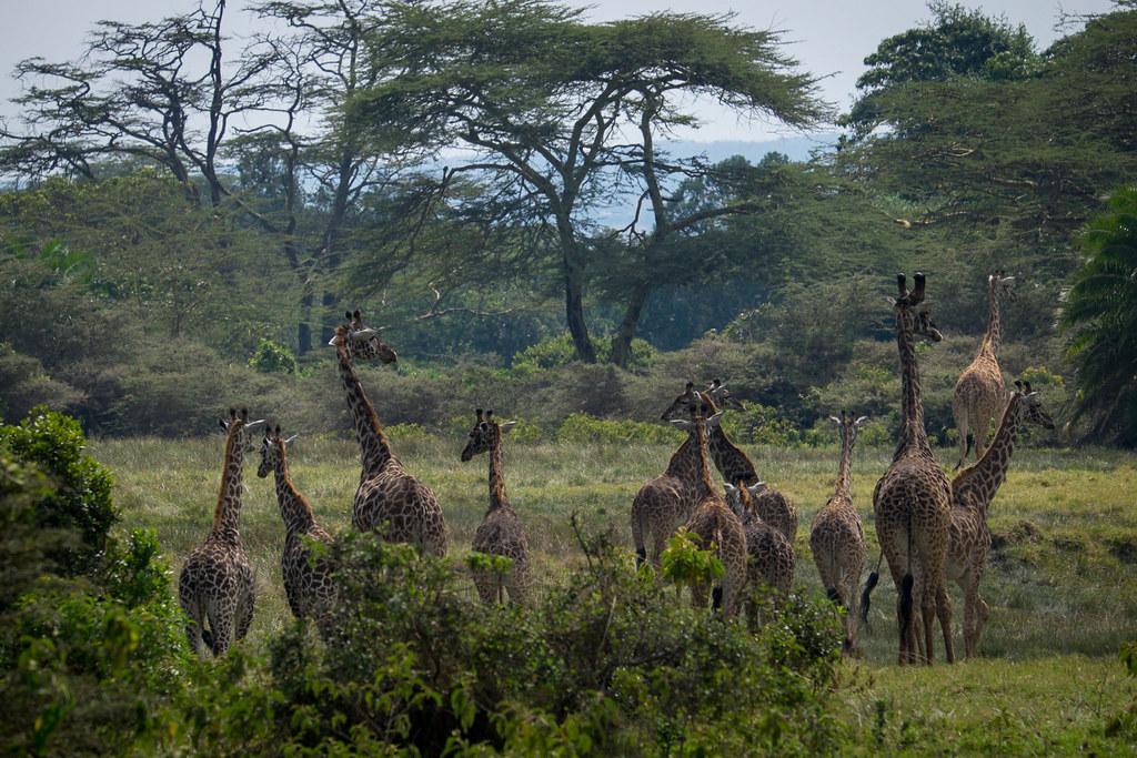 Giraffenherde beim Abstieg - 4. Tag Mount Meru Tour zur Akklimatisierung. Tansania - Kilimanjaro Kraterschläfer Expedition 2016, Wikinger Reisen
