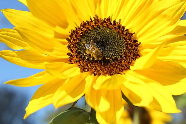 Bienchen und Blümchen im Britzer Garten