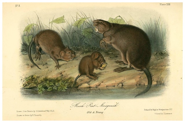 006- Rata almizclera-The quadrupeds of North América-Vol1- 1849- J.J. Audubon-Universite de Strasbourg
