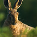 Brown Hare - Looking sad (1 of 1) by ian hull