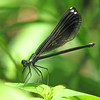 a late August Ebony jewelwing by Vicki's Nature
