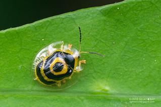 Tortoise beetle (Ischnocodia annulus) - DSC_9301