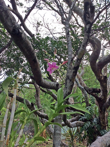 Potted orchid in Lignum Vitae tree, St. Andrew, Jamaica