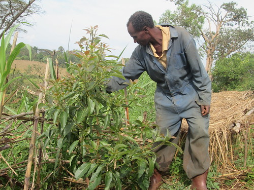 Ejigu Tefera managing his grafted avocado tree (Photo Credit: ILRI/ Gemeda Duguma)