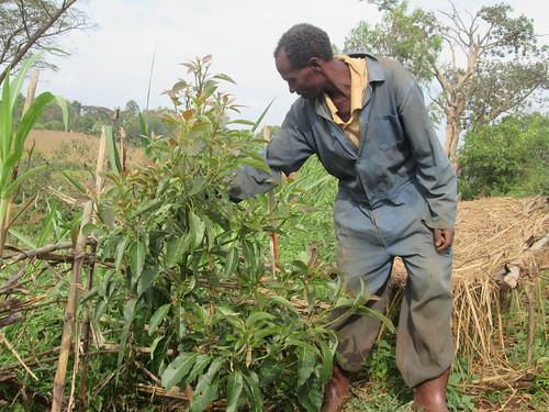Ejigu Tefera managing his grafted avocado tree (Photo Credit: ILRI/ Gemeda Duguma)