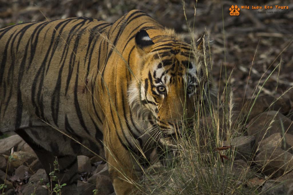 Bengal Tiger (Namdev)