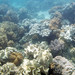 Small photo of Sarcophyton and Sinularia soft corals