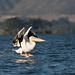 Great white pelican by mirsasha
