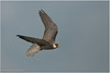 Amur Falcon by Aravind Venkatraman