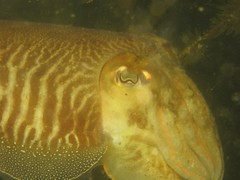 animal(1.0), cephalopod(1.0), yellow(1.0), organism(1.0), marine biology(1.0), invertebrate(1.0), cuttlefish(1.0), underwater(1.0),