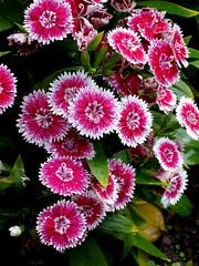 carnation, annual plant, flower, plant, flora, chrysanths, petal,