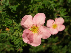 Potentilla Fruticosa ´Princess´