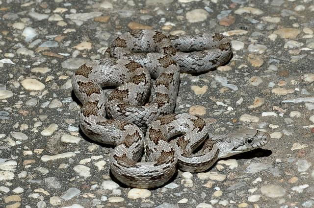 Grey rat snake flickr photo sharing