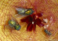 Flies & Ants on Stapelia gigantea flower