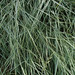 Creeping wild rye - Photo (c) stonebird, some rights reserved (CC BY-NC-SA)
