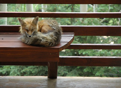 Fox Asleep on the Deck