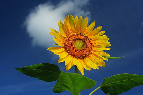 Love Sunflower ~
