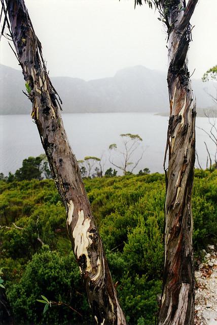 Eucalypts, Dove Lake