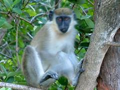 tufted capuchin(0.0), squirrel monkey(0.0), lemur(0.0), macaque(0.0), animal(1.0), monkey(1.0), mammal(1.0), langur(1.0), fauna(1.0), old world monkey(1.0), new world monkey(1.0), wildlife(1.0),
