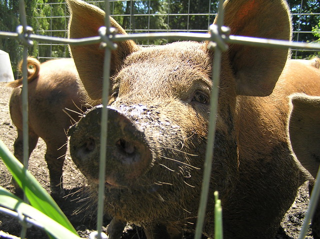 Cute Little Pig!   Another family stopping by the farm ... Wanted Man Bear Pig