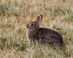 animal, grass, rabbit, domestic rabbit, pet, fauna, wood rabbit, grassland, rabits and hares, wildlife,