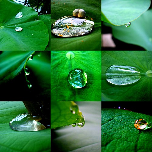 collage(waterdrops on lotus leaves)