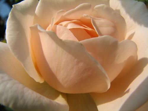 Light Pink Rose Petals