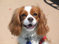 dog breed, animal, kooikerhondje, dog, pet, mammal, king charles spaniel, phalã¨ne, spaniel, cavalier king charles spaniel,