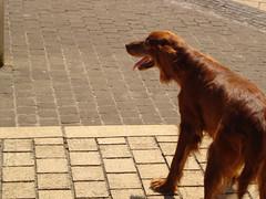 animal, dog, brown, pet, street dog, mammal, irish setter, setter, spaniel,