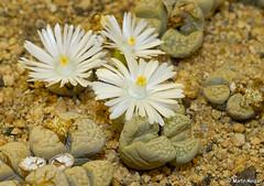 Lithops (living stones)
