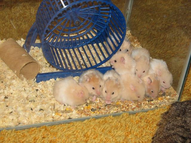 Teddy Bear Hamsters babies | Flickr - Photo Sharing!