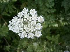 iberis sempervirens(0.0), candytuft(0.0), subshrub(0.0), meadowsweet(0.0), apiales(1.0), yarrow(1.0), shrub(1.0), flower(1.0), cow parsley(1.0), cicely(1.0), plant(1.0), anthriscus(1.0), wildflower(1.0), flora(1.0), produce(1.0),