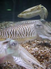 fish(0.0), food(0.0), animal(1.0), molluscs(1.0), seafood(1.0), marine biology(1.0), marine invertebrates(1.0), fauna(1.0), close-up(1.0), cuttlefish(1.0), aquarium(1.0),