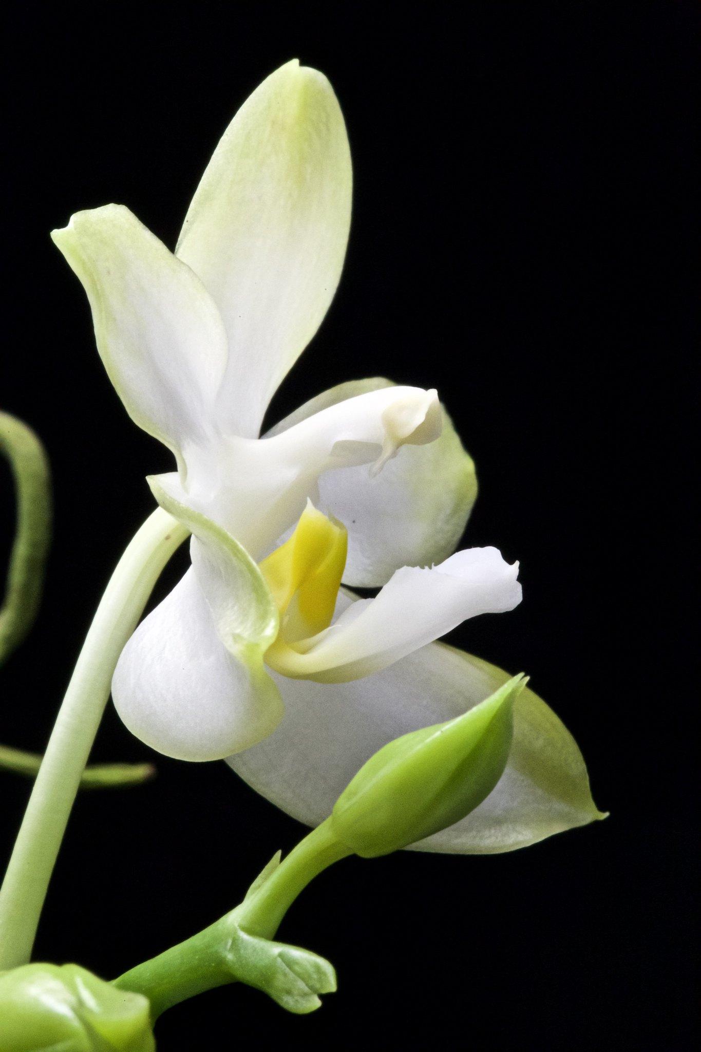 Phalaenopsis Cherry Spot f. alba 20626637701_a012380500_k