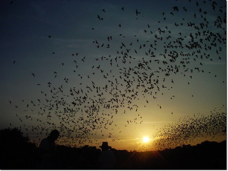 Bats swarm out of the cave mouth(photo by National Park Service)