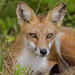 Little Red Fox by snooker2009