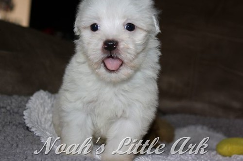 Sold Puppies in Montana | Noah's Little Ark