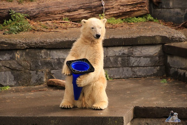 Eisbär Fiete im Zoo Rostock 06.09.2015  041